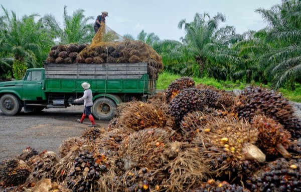 DEMAND WORRIES IN THE PALM OIL: DOWN TREND PRICE MOVEMENTS