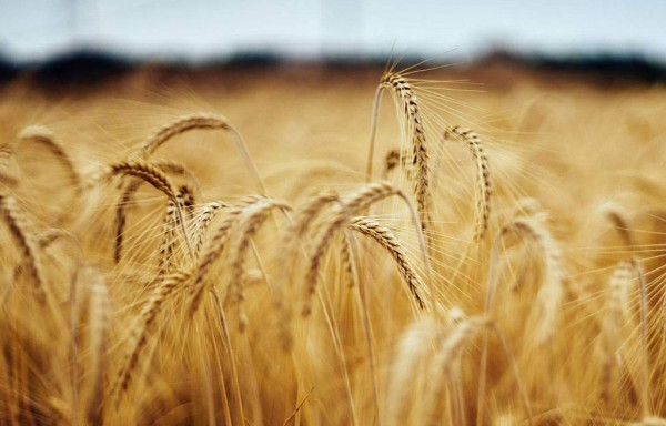 BARGAIN BUYING IN POLITICAL COMMODITY WHEAT CBOT ROSE TO $6