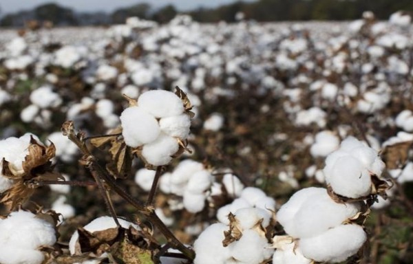 LOWER STOCKS-TO-USE RATIO SUPPORTS THE HIGHER COTTON PRICES