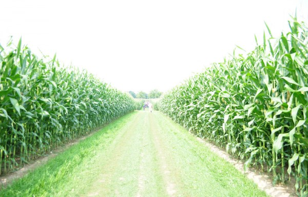 US AND BRAZIL'S YIELD AND PRODUCTION NUMBERS ARE BEARISH FOR CORN