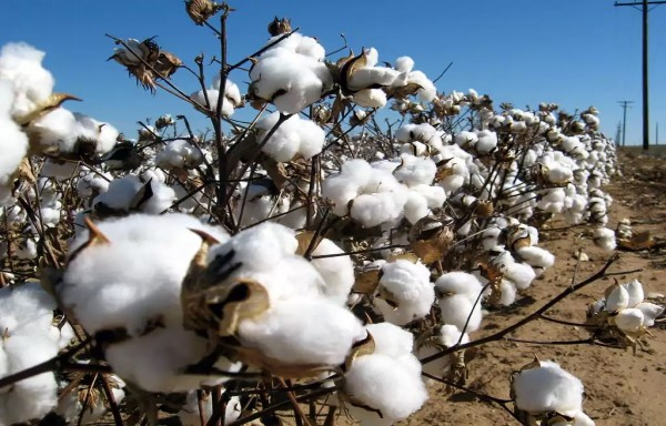 COTTON PRICES TO REMAIN PRESSURED WITH CONSUMPTION FORECAST AT A 6-YEAR LOW