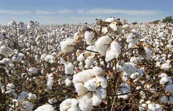 PAKISTAN MAY OPEN THE DOOR FOR INDIAN COTTON: NEEDS TO IMPORT 3.5 MILLION BALES