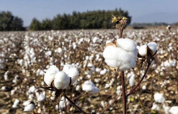 IN 2021/22 WE COULD SEE A SIGNIFICANT RECOVERY IN COTTON FUTURES
