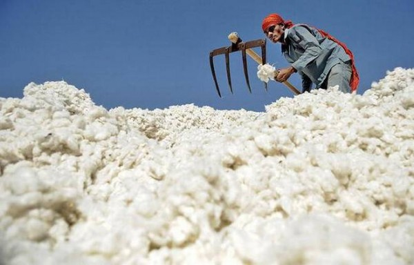 NYMEX COTTON SAW 30% DECLINE IN A WEEK PRICE TESTING 2009 LOWS