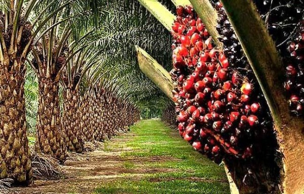 TO CUT RS.750-BLN EDIBLE OIL IMPORTS BILL GOVERNMENT TARGET OF 4.5 MILLION OIL PALM SEEDLINGS