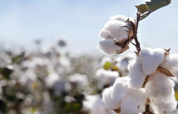 10% PRICE RISE IN COTTON BY MARCH IN INDIA IS EXPECTED