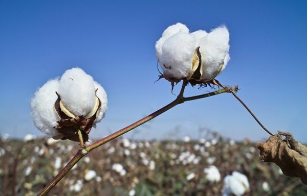COTTON TO ELUDE SELL-OFF