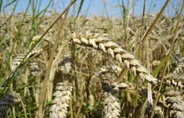 WORLD WHEAT CAUGHT IN A WAVE OF SHORT COVERING