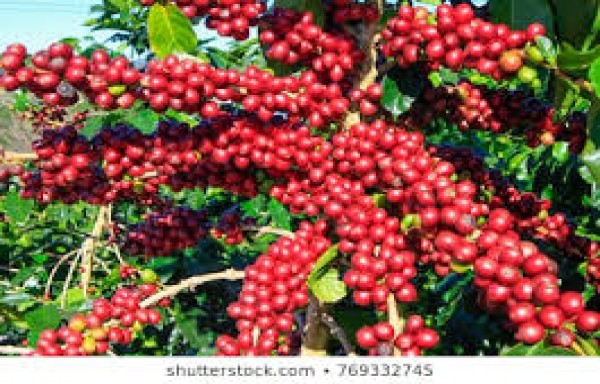 COFFEE PRICES COULD BREAK ABOVE $1.60 IN MEDIUM TERM
