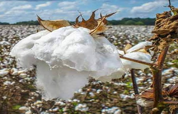 COTTON PRICE HAS CORRECTED AND BULLISH PRICE PATTERN REMAINS INTACT