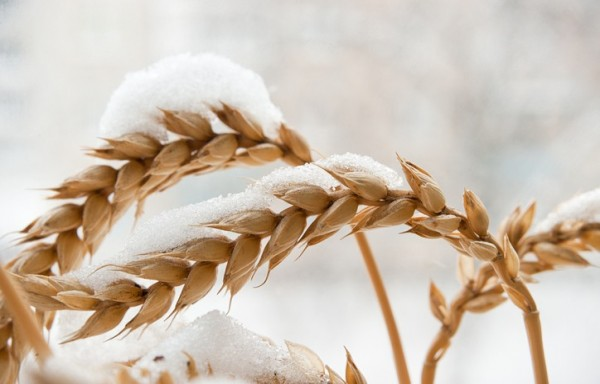 WHEAT PRODUCTION IN INDIA IS TO REACH 115 MILLION TONS EXPORTERS NEED TO TAKE A BREATHER