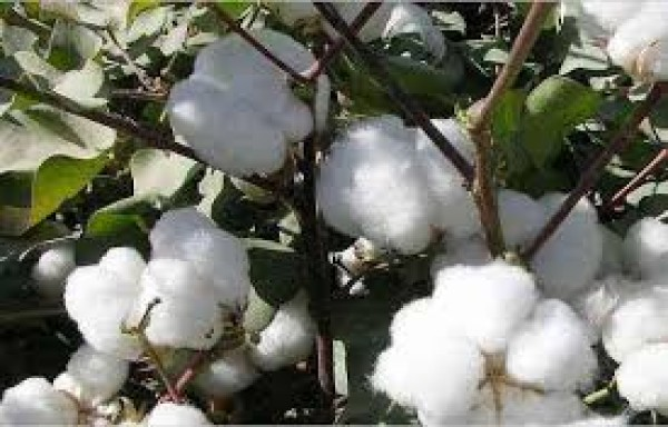 INCREASE IN WORLD COTTON DEMAND: LIMIT UP FUTURES 4 YEARS HIGH
