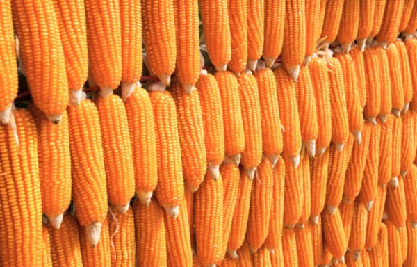 CORN HIT 5 YEARS HIGH MARKETS FACE UNCERTAINTY